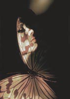 'Madam Butterfly' Large limited edition high value prints for sale by John Neville Cohen