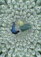 15 Peacock, by John Neville Cohen
